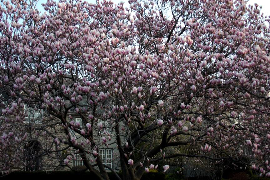 Tree with pink flowers mightylinksfo