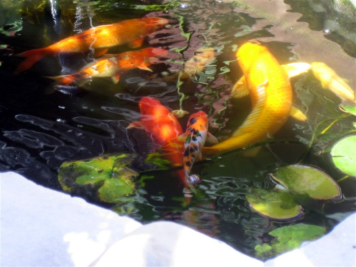 Koi fish in the pond for Pool koi goggles