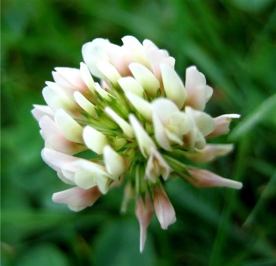 گل شبدر