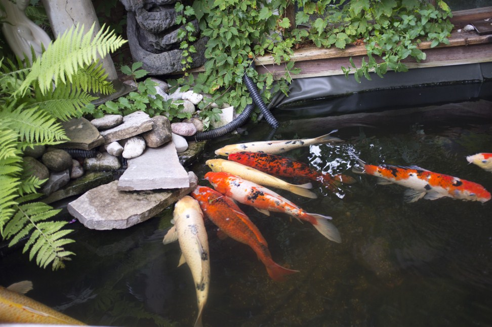 Rarest koi for pinterest for Rare koi fish