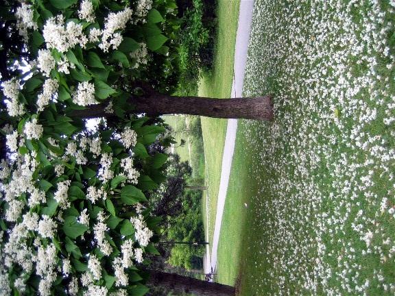 White flowers falling from tree mightylinksfo