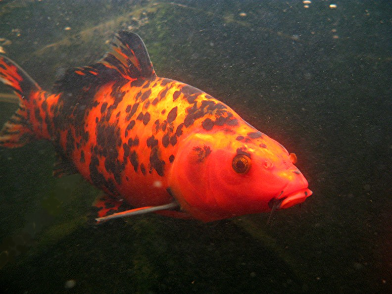 red headed koi fish