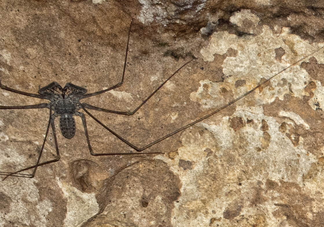 giant-cave-spider