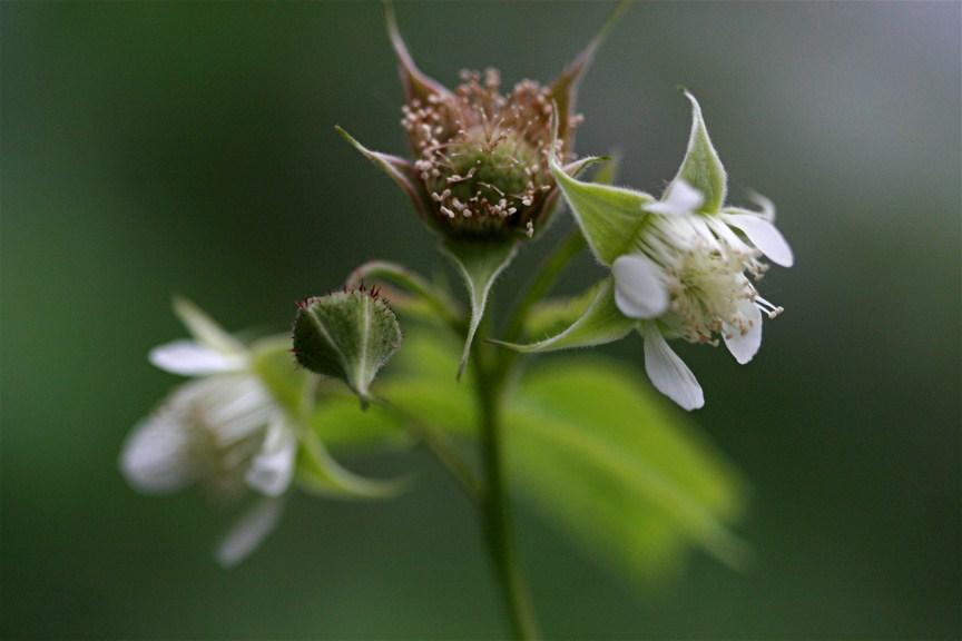 Black Raspberry Flower