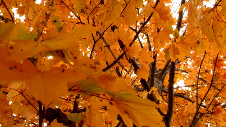 http://www.mikesjournal.com/November%202007/Maple%20Tree.jpg