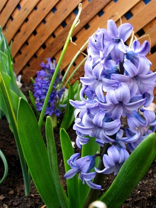http://www.mikesjournal.com/spring%20flowers%20hyacinths.jpg